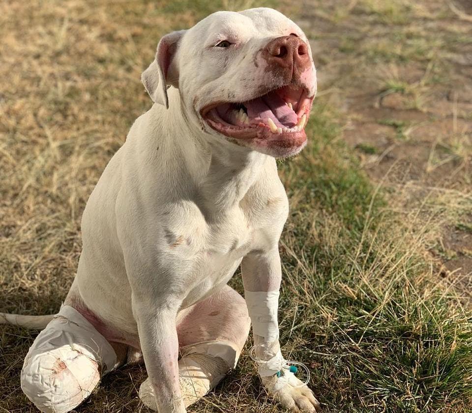 Cachorro Sansão teve as pernas decepadas ao pular o muro do vizinho