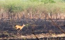 Segundo o Projeto Bichos do Pantanal, quase a totalidade dos focos de incêndios são provocados pela ação humana, seja intencional ou acidentalmente (Chico Ribeiro/ Governo Mato Grosso)
