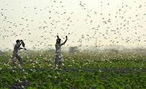 Infestações de gafanhotos devastaram cultivos em partes da África e Ásia neste ano (Shahid ALI/AFP)