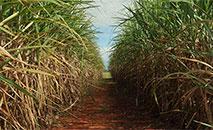As negociações entre técnicos brasileiros e norte-americanos em torno dos derivados de cana-de-açúcar se intensificaram (Arquivo/Ag. Brasil)