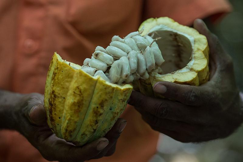 A triste realidade da produção de cacau no Brasil que beneficia as gigantes do agronegócio