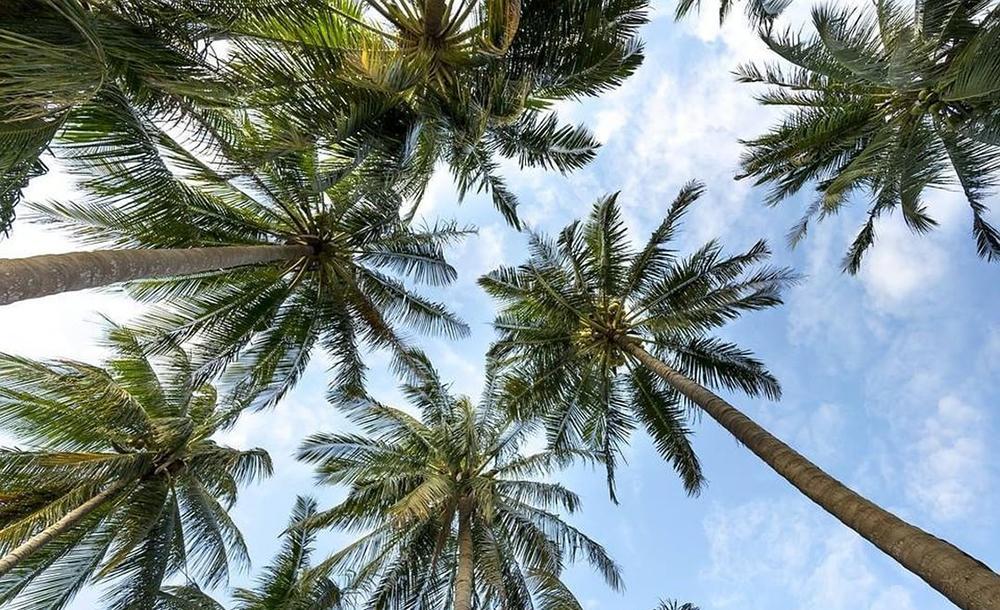 Estudo quantifica pela primeira vez a abundância de palmeiras no mundo e abre caminho para modelos mais precisos de previsão do tempo e de serviços ambientais