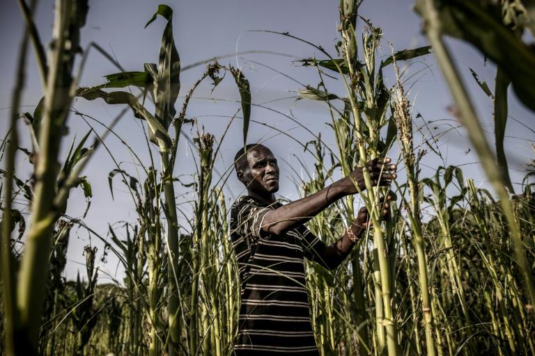 Foto disponibilizada pela FAO (Organização para a Alimentação e Agricultura da ONU) mostra o agricultor Joseph Tirkwel analisando os danos à plantação, no Quênia