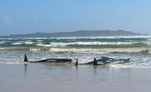 Baleias encalhadas na baía Macquarie Harbour, na Tasmânia, Austrália, em uma imagem divulgada pela polícia da Tasmânia (Handout/AFP)