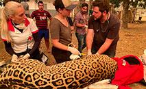 Biólogos ligados a ONG tentam resgatar animais queimados dos incêndios no Pantanal (Natália Semaniotto)