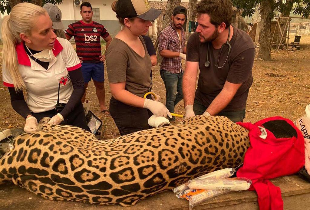 Biólogos ligados a ONG tentam resgatar animais queimados dos incêndios no Pantanal