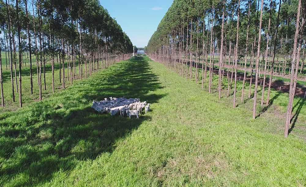 Rebanho criado em meio à plantação de eucalipto: complementação