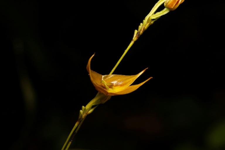 A Lepanthes tulcanensis, nova espécie de orquídea descoberta no Equador em 2018