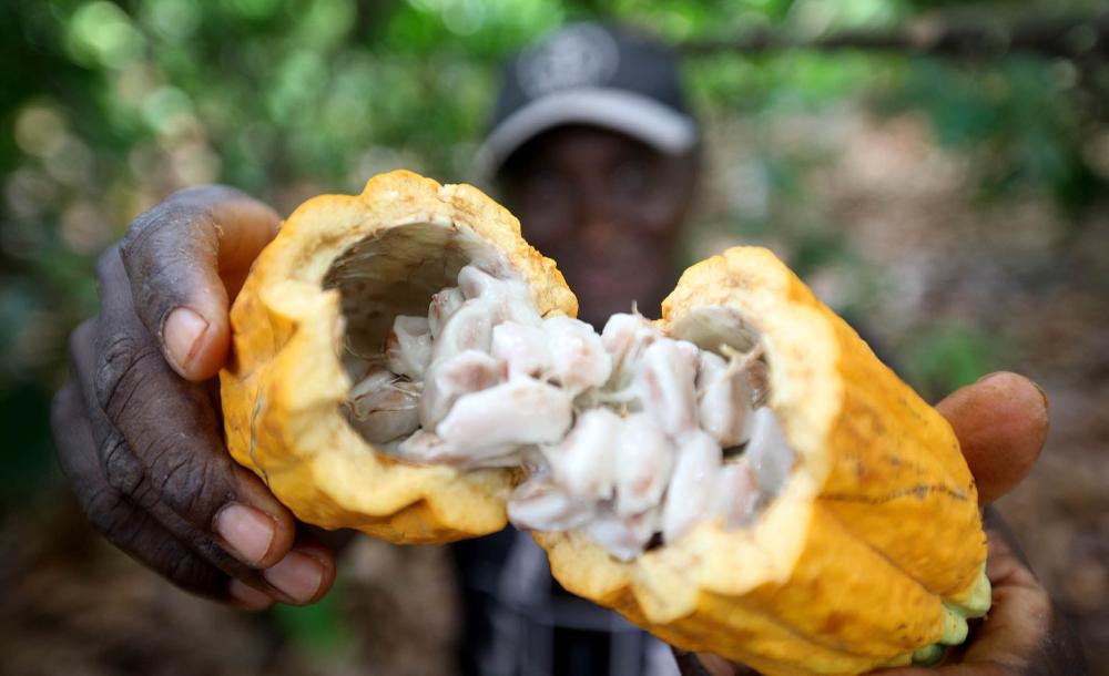 Perfeitamente integrados ao bioma da Mata Atlântica, os cacauais brasileiros se expandiram e logo abasteciam os principais produtores de chocolate da Europa, geravam empregos e traziam dólares
