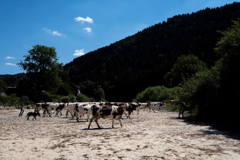 Foto de 31 de julho de 2020 mostra vacas caminhando sobre o leito seco do rio Doubs, em Maisons-du-Bois-Lievremont, leste da França, durante onda de calor no país