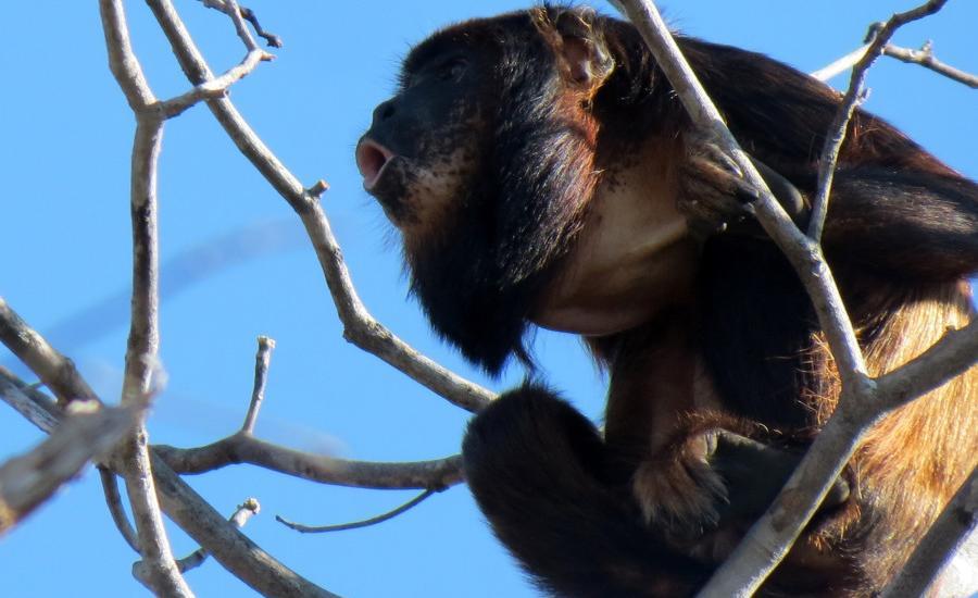 Uma marcante vocalização, que pode ser ouvida a até 2 quilômetros de distância, é uma das principais características deste primata