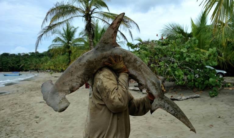 Pescador com espécime de tubarão-martelo na praia de Manzanillo, na Costa Rica, em 3 de abril de 2011