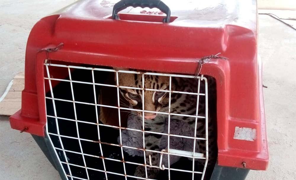 Polícia Ambiental realizou o resgate do animal e constatou que não apresentava nenhuma lesão aparente superficial