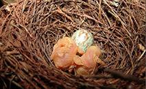 Pesquisa comparou nidificação em ambientes fechados e abertos e analisou se coloração de aves atrai mais predadores (Wikimedia Commons)