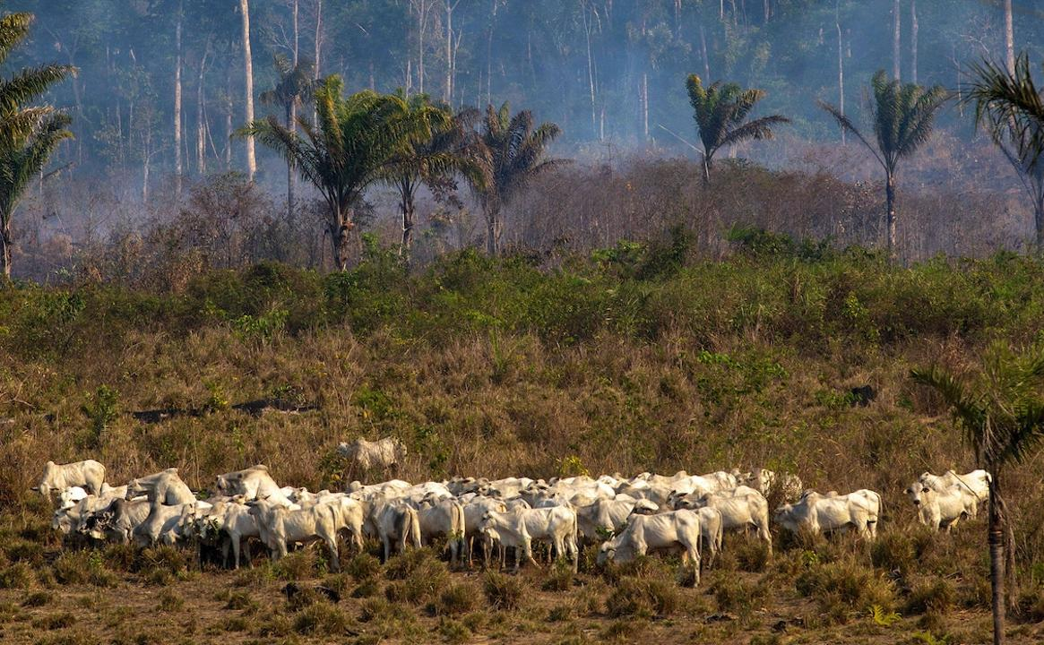Gado pasta próximo a um local de incêndio recente no estado Pará, na floresta amazônica, em 25 de agosto de 2019