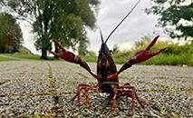Um lagostim perto do Lago Kemnader em Bochum, Alemanha (AFP)