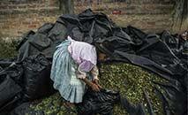 Mulher coleta folhas de coca em Rosário, distrito no sul do Peru, em 19 de setembro de 2021 (ERNESTO BENAVIDES/AFP)