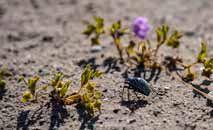 Milhares de flores desabrocham no deserto do Atacama, no Chile (Martin Bernetti/AFP)