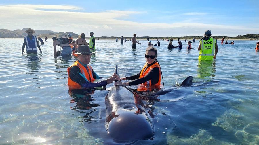 Equipes de resgate se mobilizam para salvar dezenas de baleias-piloto que encalharam em um trecho da costa da Nova Zelândia, em Farewell Spit
