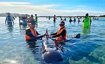 Dezenas de baleias-piloto encalhadas na N. Zelândia (AFP /AFP)