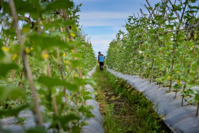 Trabalhador aplica pesticida em plantação de melancia, na Indonésia