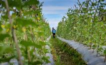 Trabalhador aplica pesticida em plantação de melancia, na Indonésia (Chaideer Mahyuddin/AFP)
