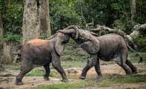 Dos jovens elefantes da selva na reserva Dzanga Sangha, na República Centroafricana (Florest Vergnes/AFP)