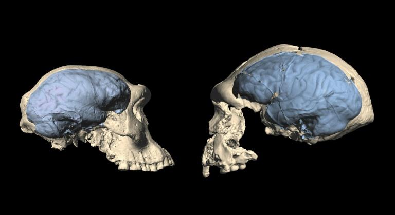 Imagem fornecida pela Universidade de Zurique de fósseis de crânio que mostram a evolução do cérebro entre um espécime do gênero Homo na Georgia (à esquerda) e na Indonésia (à direita)