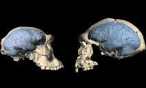 Imagem fornecida pela Universidade de Zurique de fósseis de crânio que mostram a evolução do cérebro entre um espécime do gênero Homo na Georgia (à esquerda) e na Indonésia (à direita) (Handout/AFP)