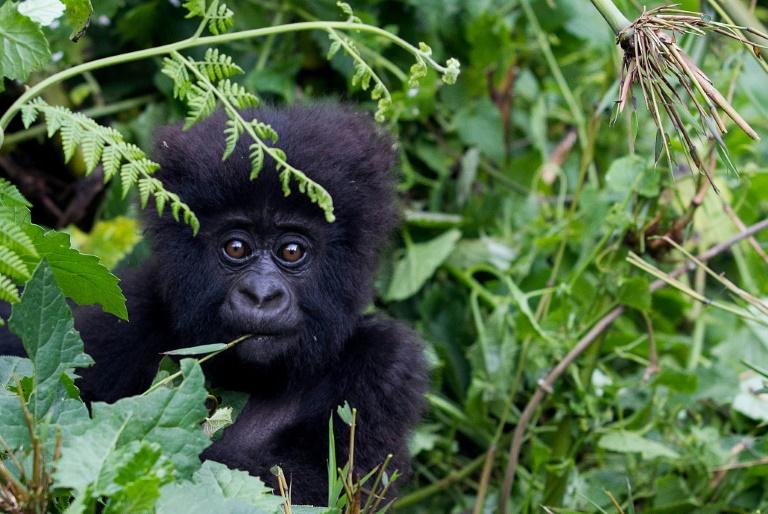 Um gorila bebê, nas montanhas Sabyinyo de Ruanda