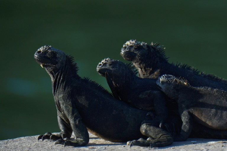 Iguanas marinhas descansam ao sol na ilha de Santa Cruz, no arquipélago de Galápagos, em 14 de abril de 2021