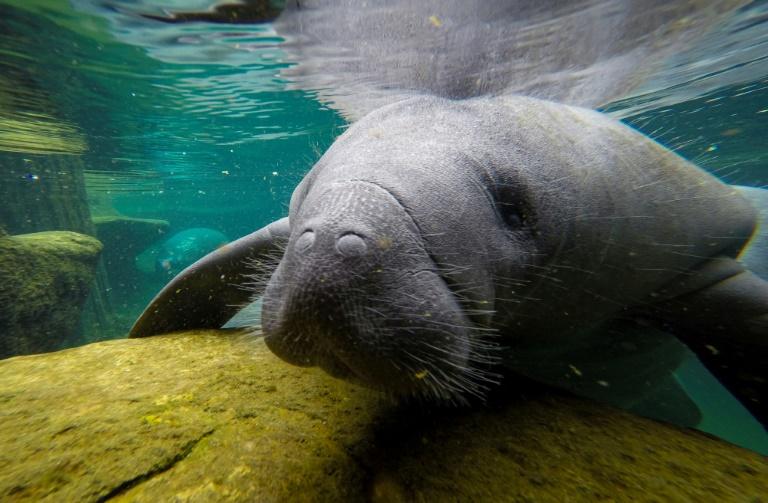 Peixe-boi na piscina de recuperação do Centro de Cuidados Intensivos do Zoológico de Tampa em Lowry Park