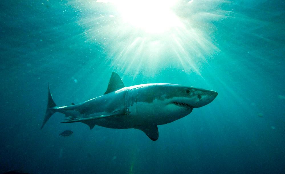 Um tubarão-branco nada nas águas do Pacífico australiano