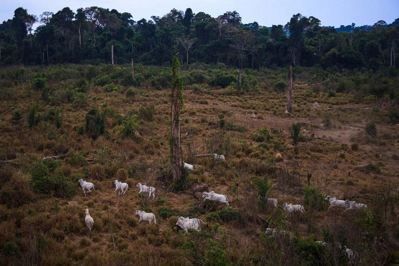 Gado na Floresta Nacional do Jamanxim, no Pará