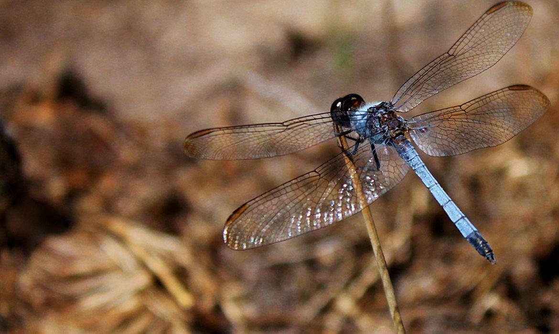 O inseto foi encontrado em um fragmento de mata de cerrado no campus da UFScar