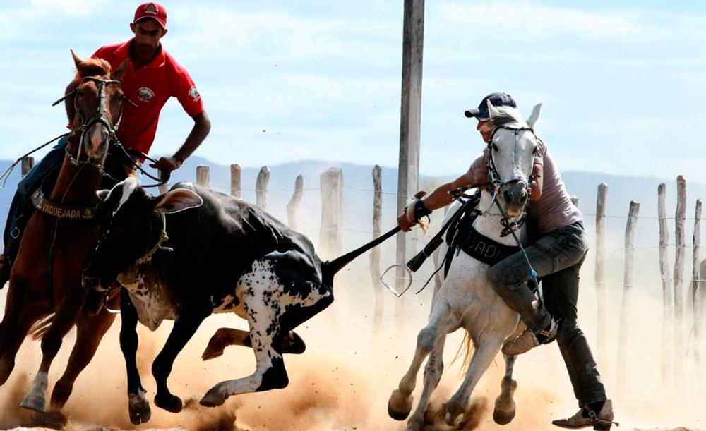 A vaquejada é alvo de controvérsia: defendida por ruralistas e criticada por defensores dos animais