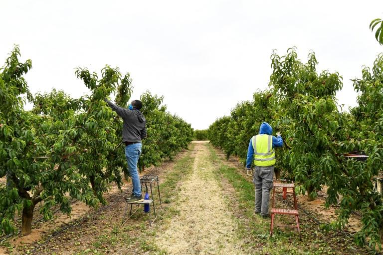 Plantação de nectarinas em (Arquivo) Alcarras, na Espanha, em 22 de maio de 2021