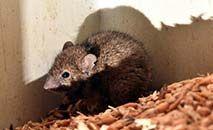 Um rato se alimenta em um celeiro em New South Wales, leste da Austrália, em 1º de junho de 2021 (Saeed KHAN/AFP)
