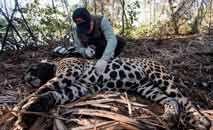 A onça apelidada de Sandro era monitorada por grupo de conservação (Gustavo Fonseca/Reprocom)