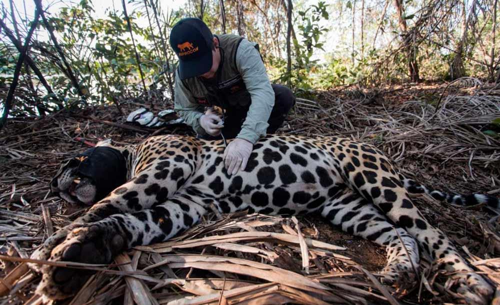 A onça apelidada de Sandro era monitorada por grupo de conservação