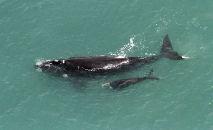 Uma baleia-franca do Atlântico Norte nas águas da baía de Cape Cod, perto de Provincetown, Massachusetts, Estados Unidos, 14 de abril de 2019 (Don Emmert/AFP)