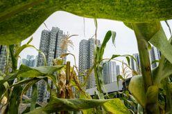 Plantações no telhado do shopping Metropole Plaza em Hong Kong (Anthony WALLACE/afp)