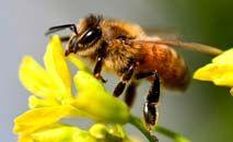 Segundo a ONU, as abelhas polinizam 71 das 100 espécies cultivadas que fornecem 90% dos alimentos do mundo (AFP)