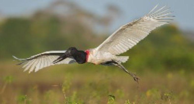 O jaburu é uma ave conhecida no Pantanal como tuiuiú (Wikimedia/Andreas Trepte)