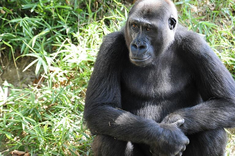 Um gorila no Zoológico Nacional Smithsonian em Washington