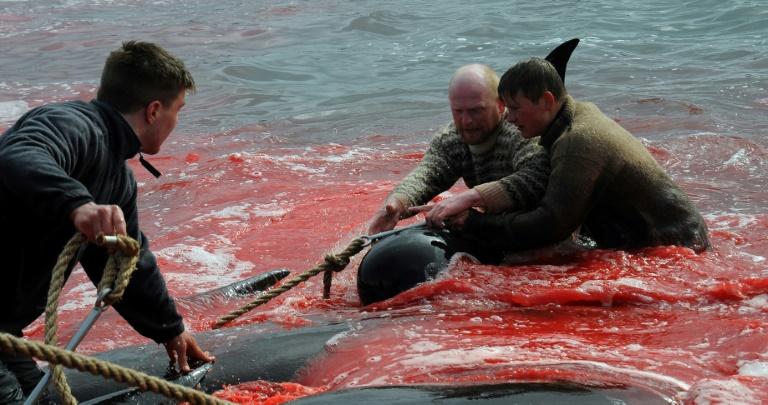 Baleias-piloto mortos durante uma caça em 29 maio de 2019 em Torshavn, nas ilhas Feroe