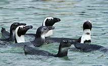 (Arquivo) A África do Sul abriga a maior comunidade de pinguins africanos do mundo (Rodger Bosch/AFP)