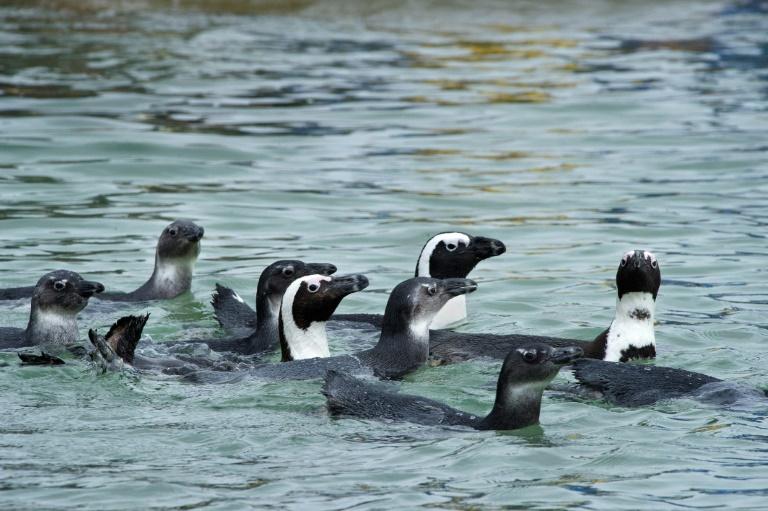(Arquivo) A África do Sul abriga a maior comunidade de pinguins africanos do mundo