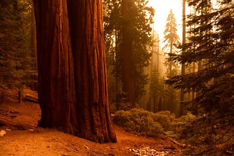 As famosas sequoias californianas