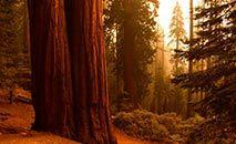 As famosas sequoias californianas (Patrick T. FALLON/AFP)
